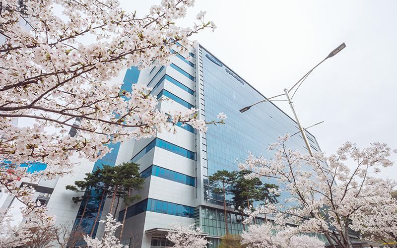 팝콘처럼 피어나는 삼성디스플레이 벚꽃, 함께 구경해볼까요?